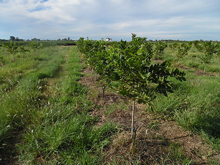 Cover crops in pecan orchard