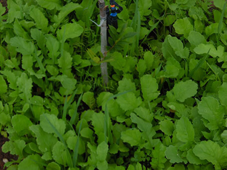 Dense cover crops
