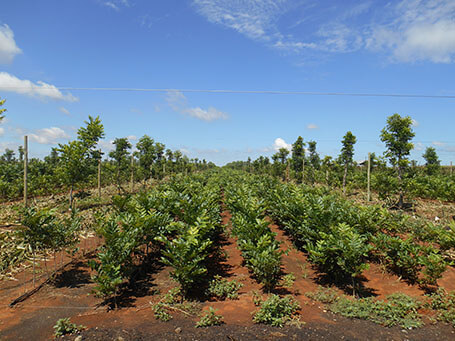 Nursery trees in open ground