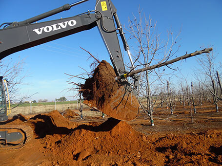 Transplanting big trees in an orchard